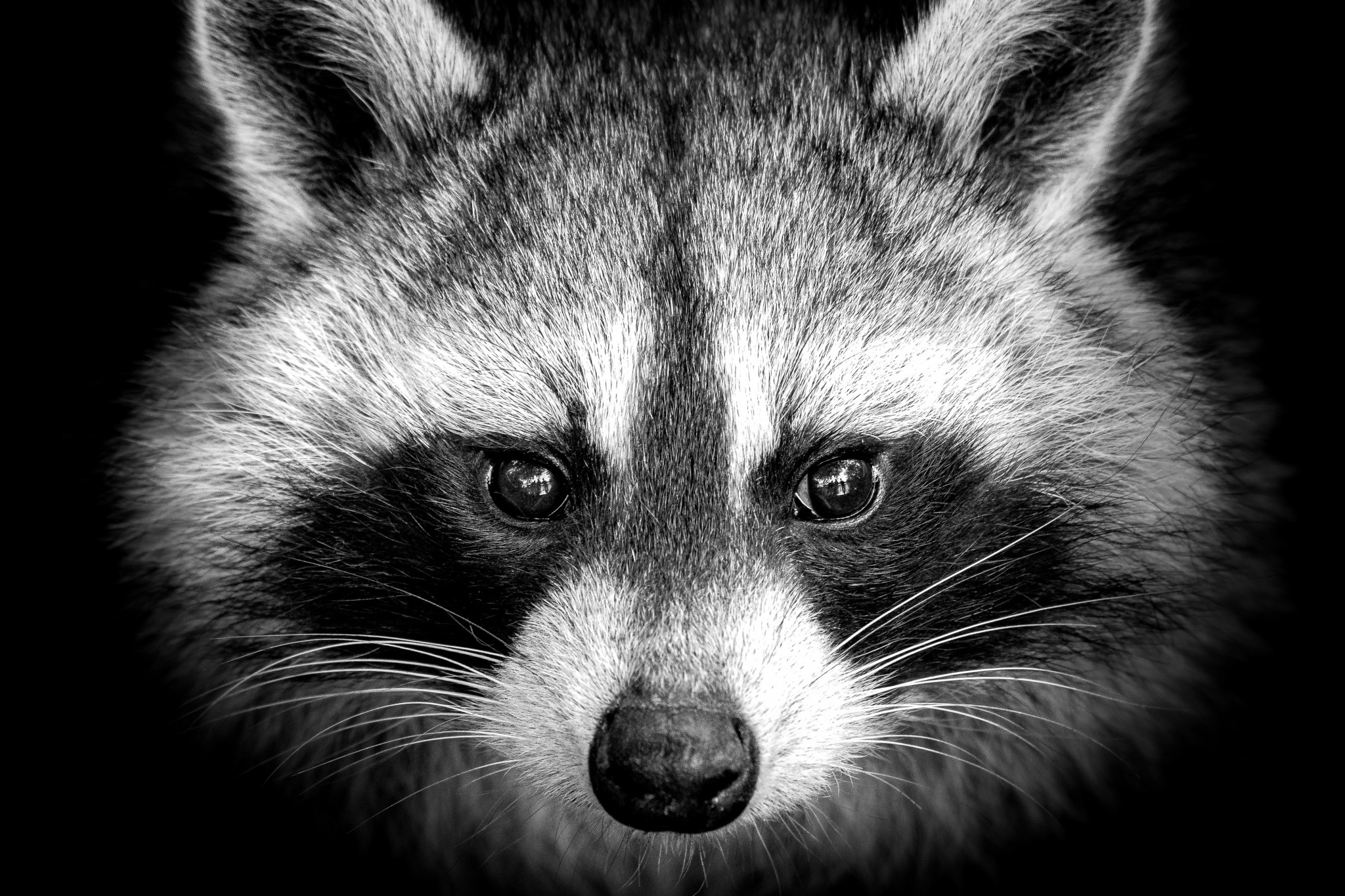 Raccoon Feces Cleanup In Alabama